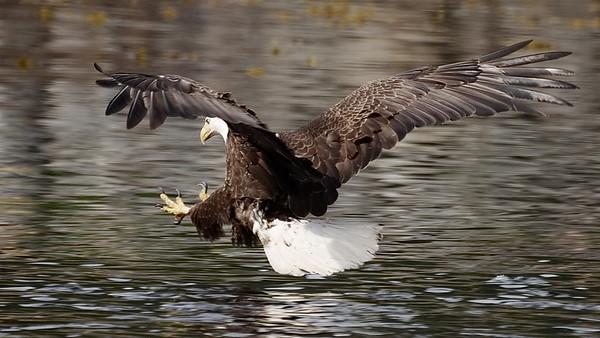 Alaska, Bald Eagle, Inside Passage, Sitka
