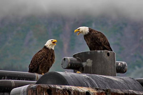 Alaska, Bald Eagle, Resurrection Bay, Seward