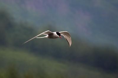 Alaska, Artic Tern, Tern Lake