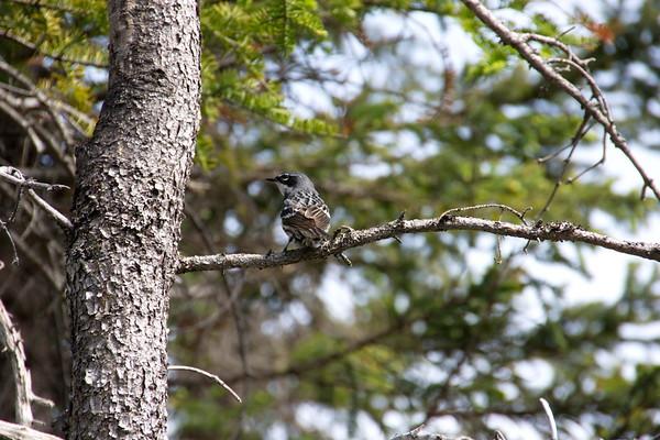 Birds, Gros Morne National Park, Lookout Trail, Newfoundland