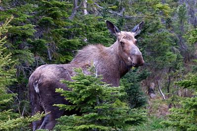 Grenfell Loop, Moose, Newfoundland