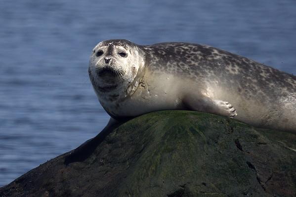 Gaspesie, Quebec, Seal