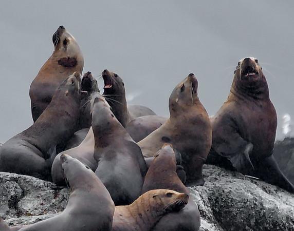 Alaska, Kodiak Island, Steller Sea Lion, Zacher Bay