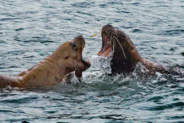 Alaska, Steller Sea Lion, Valdez
