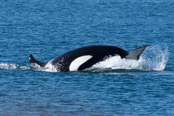 Alaska, Killer Whale- Orca, Meares Glacier Excursion, Valdez