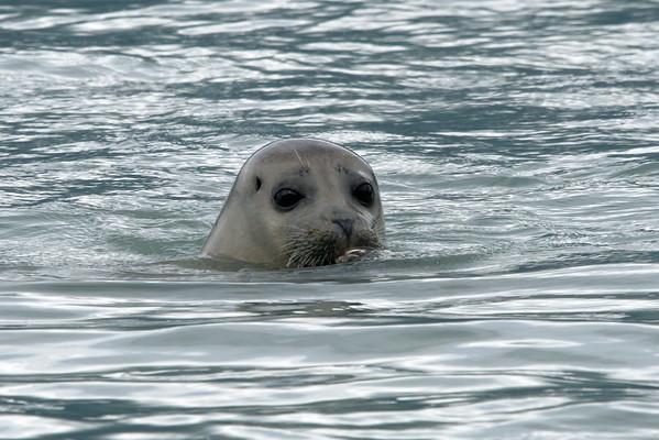 Alaska, Seal, Valdez