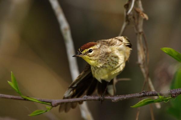 Everglades National Park, Florida, Palm Warbler