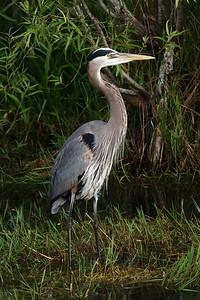 Everglades National Park, Florida, Great Blue Heron
