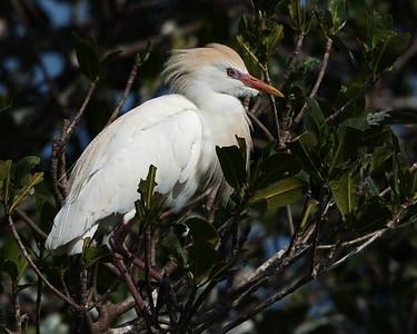 Bird Island, Cattle Egret, Florida, Port St Lucie