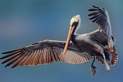 Brown Pelican, Fellsmere, Florida, Stick Marsh-Farm 13