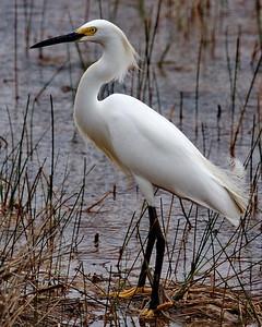 Everglades National Park, Florida, Snowy Egret