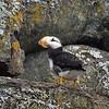 Alaska, Horned Puffin, Resurrection Bay