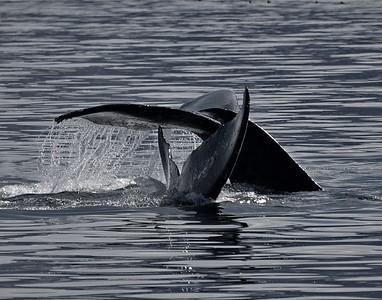 Alaska, Inside Passage, Whale