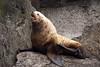Alaska, Resurrection Bay, Steller Sea Lion