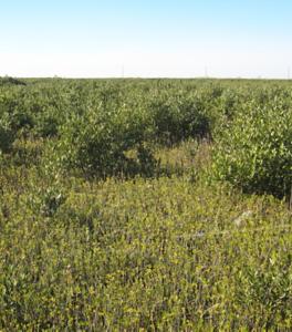 marsh mangrove3
