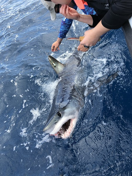 "Sportfish Center's Mako Shark ""Pico"" Surprises Scientists with 2,000-mile Migration"
