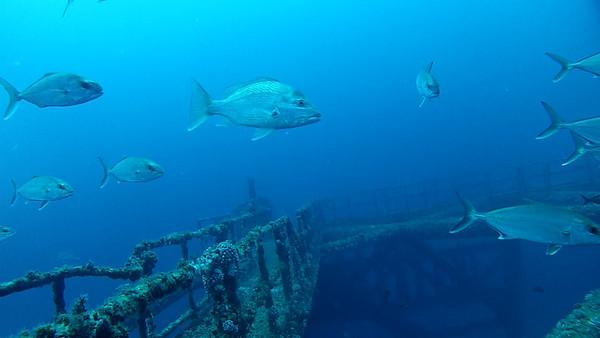 RedSnapper_MI-A-7_Dive