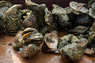 Oysters harvested from Aransas Bay sampling station.
