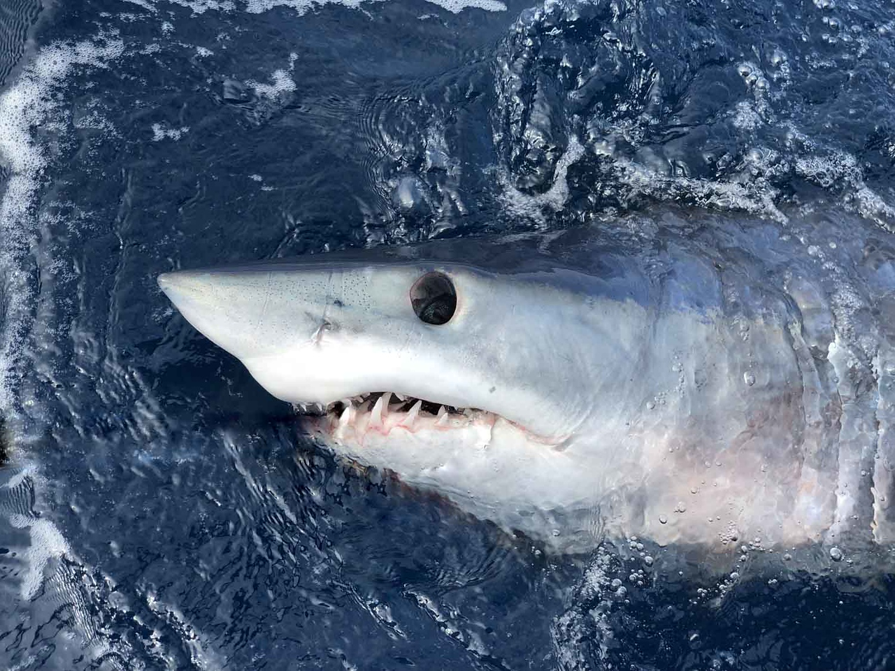 Watch Shark Week Live with HRI Researchers July 30 at Brewster