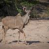 Kudu Antelope / Tragelaphus strepsiceros