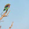 Lilac Breasted Roller / Coracias caudatus