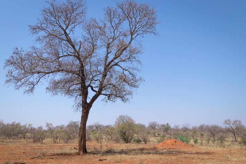 Termite mound, Mala Mala Reserve, South Africa.