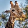 Male Giraffe / Giraffa giraffa