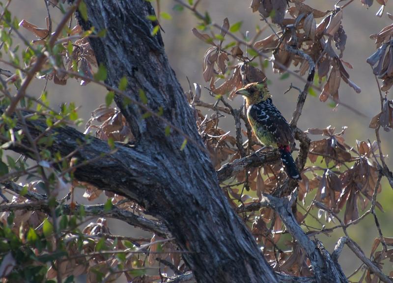 Crested Barbet / Trachyphonus vaillantii