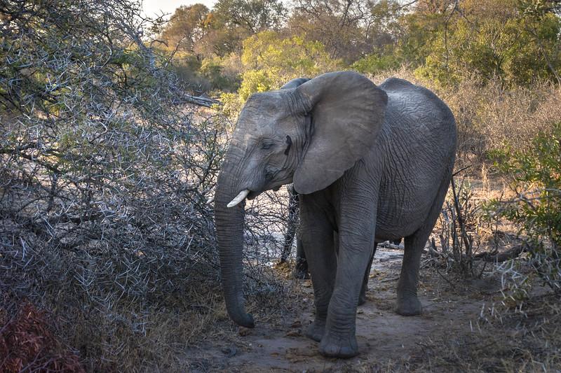 Elephant with temporal gland secretion.