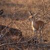 Steenbok / Raphicerus campestris