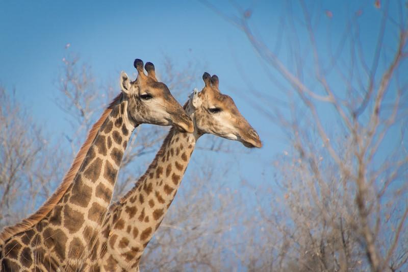 Giraffe / Giraffa Giraffa