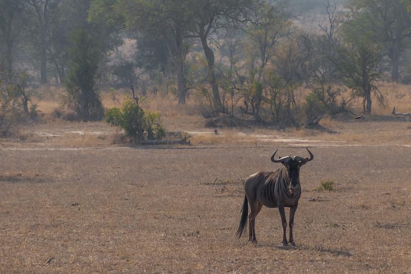 Blue Wildebeest / Connochaetes taurinus