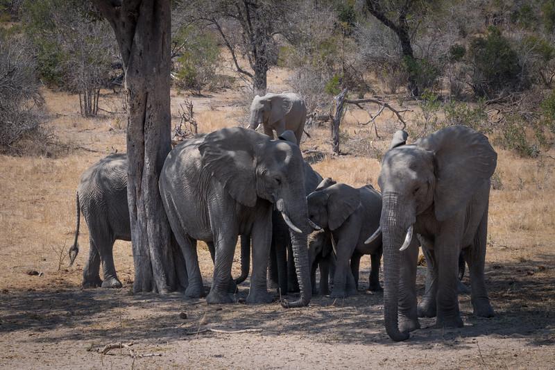 Elephant herd / Loxodonta africana