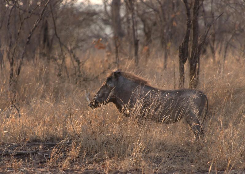 Warthog / Phacochoerus africanus
