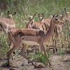 Impala / Aepyceros melampus