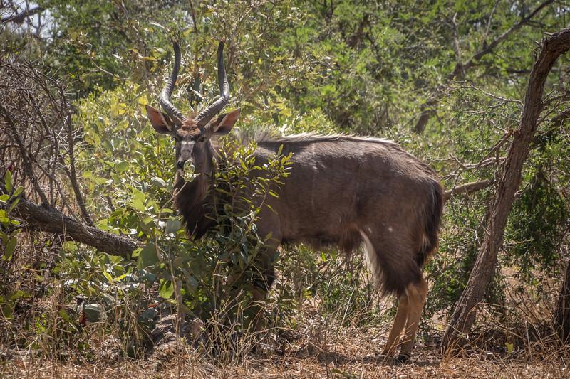 Nyala antelope/  Tragelaphus angasii