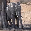 Elephant scratching / Loxodonta africana.
