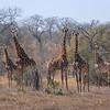 Giraffes / Giraffa giraffa