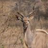 Male Kudu Antelope / Tragelaphus strepsiceros