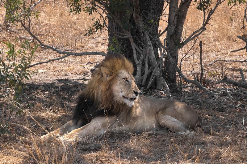 Lion / Panthera leo