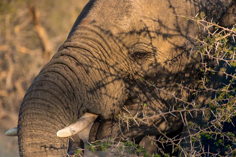 Elephant / Loxodonta africana