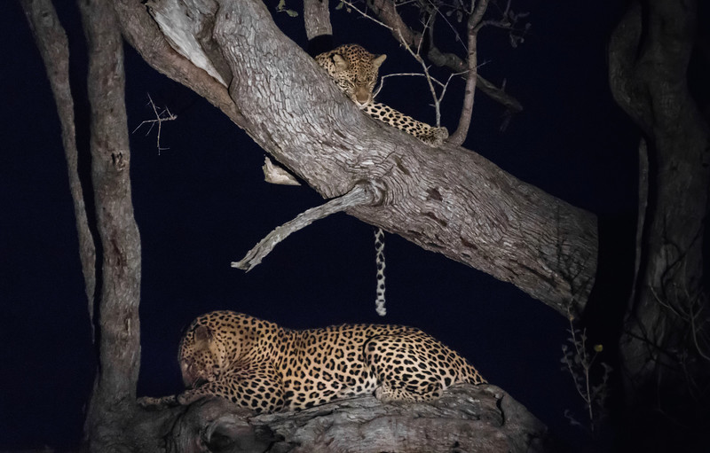 Leopards (male and female) / panthera pardus