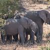 Elephants/ Loxodonta africana