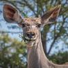 Kudu female / Tragelaphus strepsiceros