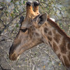 Giraffe and Red-Billed Oxpecker