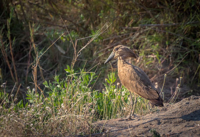 Hammerkop bird / Scopus umbretta