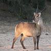 Waterbuck / Kobus ellipsiprymnus
