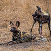 Painted Dog / Lycaon pictus