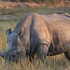 White Rhinoceros /Ceratotherium simum
