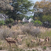 Impalas at Mala Mala Main Camp, South Africa.
